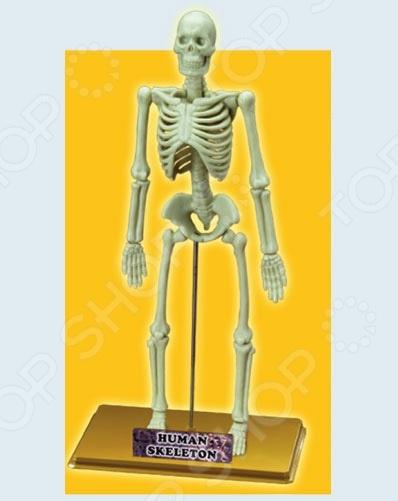 Наглядное пособие Eastcolight «Скелет человека» набор обучающий eastcolight микроскоп 10х 20х